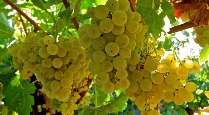 15-Kerner-grapes
