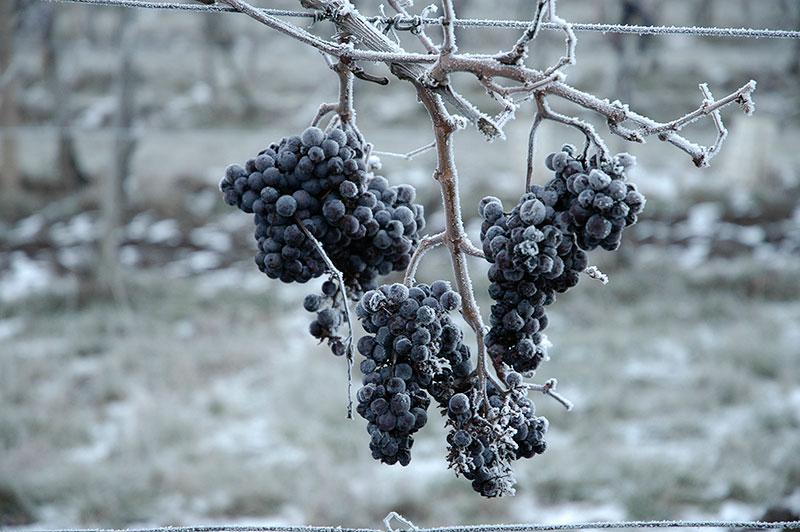 vinarstvi-marcincak-ledove-vino-02